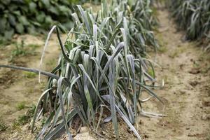 huerto orgánico con cebollas foto