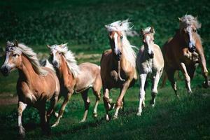 Grupo de caballos haflinger corren en la pradera foto