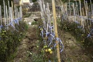 plantación de tomates orgánicos foto