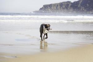 perro corriendo en la playa foto