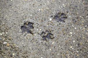 pistas de perros en el suelo foto