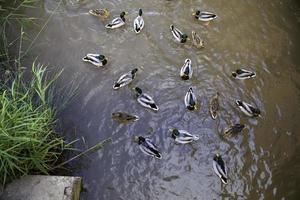 patos en el estanque foto