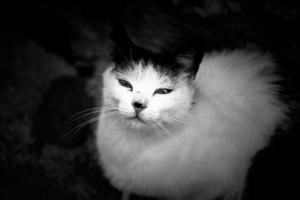 gato doméstico persa foto