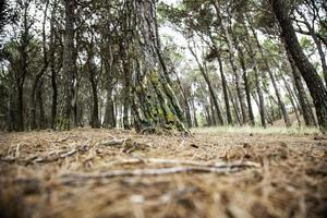 Pine forest natural photo