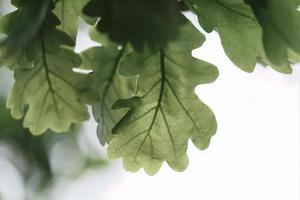 Vista cercana de la hermosa hoja de roble verde en la rama de un árbol en un bosque foto