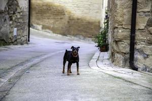pequeño perro negro ladrando en la calle foto