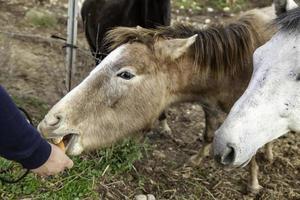 Horse eating carrots photo