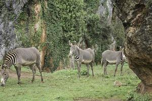 cebras en el bosque foto