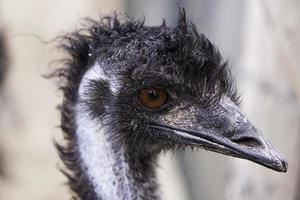 Look ostrich zoo photo
