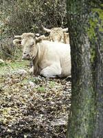Cows lying forest photo
