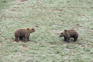 osos en el zoológico foto