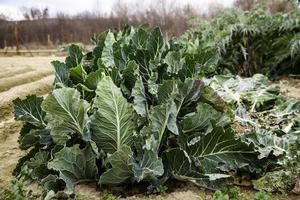 Huerta orgánica con repollo. foto