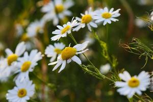 Blooming yellow camomile flowers with white petals in a field photo
