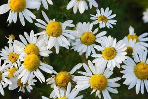 Floración de flores de manzanilla amarilla con pétalos blancos en un campo foto