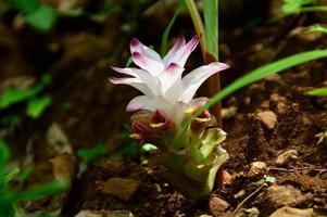 Close-up de flor de cúrcuma en campo agrícola foto