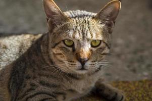 Close-up Portrait of a Domestic Cat photo