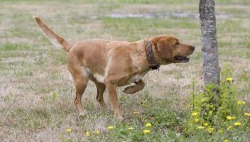 Hunting dog making the sign in france photo