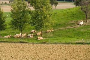 Breeding cattle in France photo