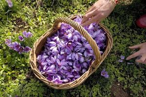 Producer of saffron in France photo