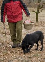 Harvest of black truffles with the help of a dog in Lalbenque, France photo