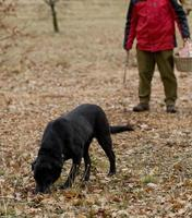 Cosecha de trufas negras con la ayuda de un perro en Lalbenque, Francia foto