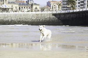 perro jugando en la playa foto