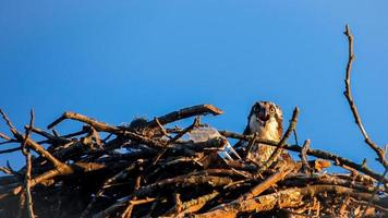 Osprey female sitting in nest with blue sky photo