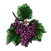 Grapes isolated on a white background. Grapevine hand drawn vector illustration.