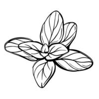 Oregano leaves isolated on a white background. Oregano is a flavorful condiment. Hand-drawn vector illustration