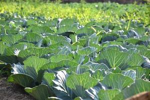 campo o granja de repollo, coles verdes en el campo de la agricultura foto