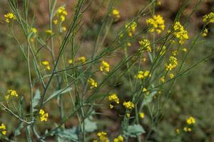 flores de mostaza que florecen en la planta en el campo agrícola con vainas. de cerca. foto