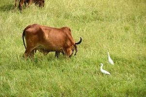Cows and bulls are grazing on a lush grass field photo