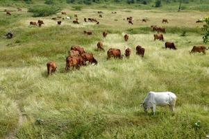 vacas y toros pastando en un exuberante campo de hierba foto
