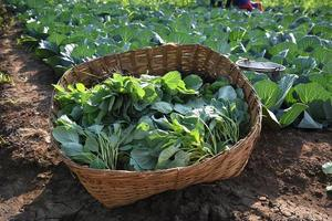 Cabbage field or farm, Green cabbages in the agriculture field photo