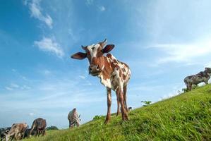 vacas pastando en un exuberante campo de hierba foto