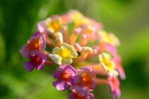 Multi- colored Lantana flowers. Beautiful Colorful Hedge Flower, Weeping Lantana, photo
