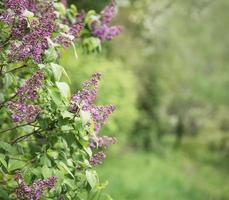 Arbustos de lilas en frente de un jardín verde foto