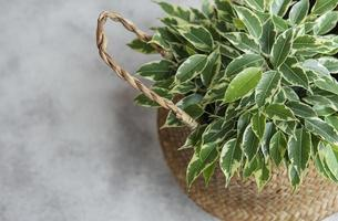 Ficus Benjamin en una canasta de paja foto