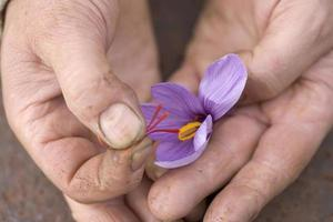 Extraction of stigmas of saffron in France photo