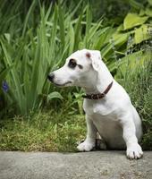 perro jack russel terrier blanco foto