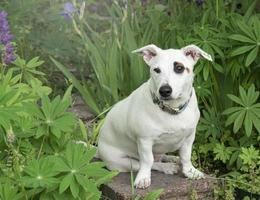 Jack Russell Terrier puppy photo