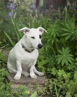 cachorro jack russell terrier foto