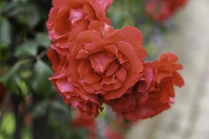 Natural red geraniums photo