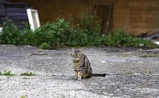 gato gris callejero foto