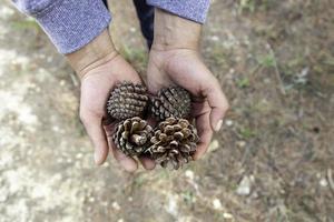 Pine cones in hands photo