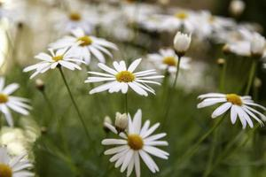 Wild daisies in the field photo