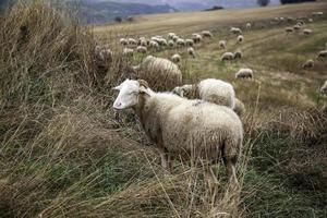 Sheep in field photo
