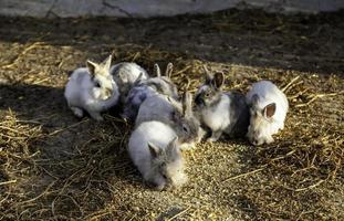 conejos de campo de angora foto