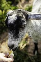 oveja en corral foto