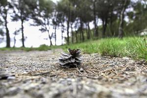 piña seca en un bosque foto